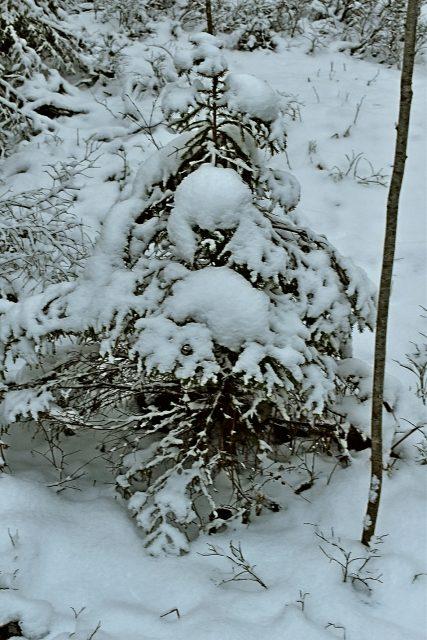 Gran i skogen övertäckt med snö.