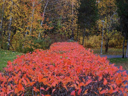 Röda löv på häck mot gröngul skog.