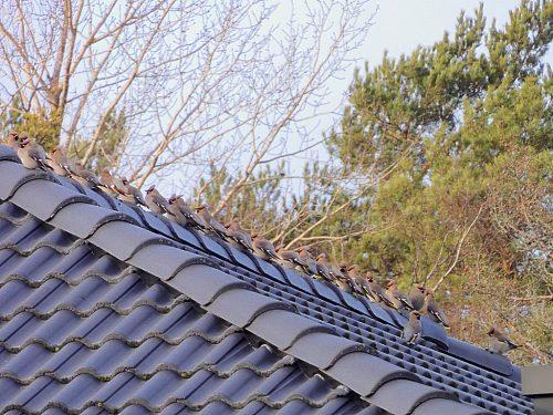 Sidensvansar på taknock.