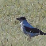 Gråkråka en stor fågel på sök efter mask.