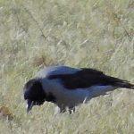 Kråka letar mat